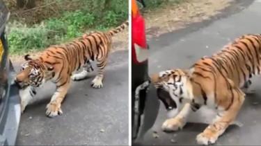Harimau rusak mobil